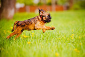 Griffon puppy outdoors — Stock Photo