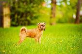 グリフォンエンタープライズ子犬屋外 — ストック写真