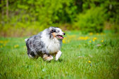 Shetland sheepdog outdoors — Stock Photo
