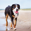 Great swiss mountain dog on the beach — Stock Photo #48004829