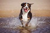 Great swiss mountain dog on the beach — Stock Photo