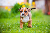 Staffordshire bull terrier puppy — Stock Photo