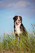 Great swiss mountain dog — Stock Photo