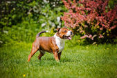 Staffordshire bull terrier dog outdoors — Stock Photo