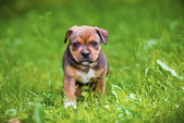 Red staffordshire bull terrier puppy — Stock Photo