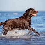 Labrador retriever dog on the beach — Stock Photo #50140781