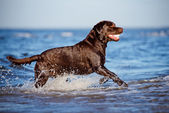 Labrador retriever dog on the beach — Stock Photo