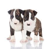 英語・ ブル ・ テリアの子犬 — ストック写真