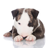 English bull terrier puppy — Stock Photo