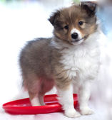Little puppy Sheltie — Stok fotoğraf