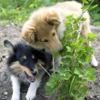 Foto Stock: Shetland sheepdog outdoors