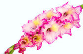Pink gladiolus is on white background — Stock Photo