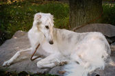 Russian borzoi — Stockfoto