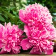 Pink peonies — Stock Photo #34717247