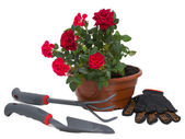 Shrub roses and garden tools — Stock Photo