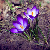 First crocus flowers — Stock Photo