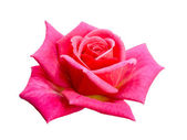 Brilhante rosa linda — Foto Stock