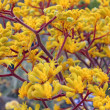 Clump of bright yellow flowering Australikangaroo paws — Stock Photo #17670435