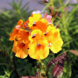 Bright yellow flowering annual Nemesia plant — Stock Photo