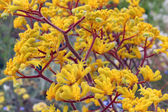 Clump of bright yellow flowering Australian kangaroo paws — Stock Photo