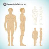 Human body — Stock Vector