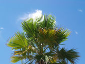 Big palm trees on a blue sky background (clouds) — Stock Photo