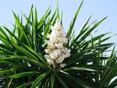 Closeup palm tree with flower on a blue background — Stock Photo