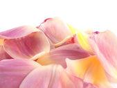 Isolierte Rosa Tulpe Blütenblätter auf weißem Hintergrund — Stockfoto