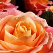 Closeup colorful roses (pink, yellow, orange). - Stock Photo