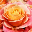 Closeup colorful roses (pink, yellow, orange). — Stock Photo #24490853