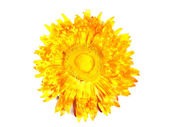 Decorative dried yellow flower. Isolated — Foto Stock