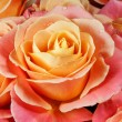 Closeup colorful roses (pink, yellow, orange). — Stock Photo #25197589