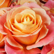 Closeup colorful roses (pink, yellow, orange). — Stock Photo