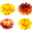 Dried flowers collection. Isolated on white. — Stock Photo