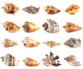 Seashell collection isolated on white background. — Stock Photo