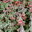 Red berries in hoar frost — Stock Photo