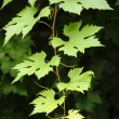 Stock Photo: Grapevine leaves