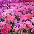 Cyclamen 1 — Stock Photo #17449447