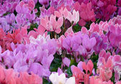 Cyclamen 3 — Stock Photo