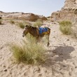Bedouin donkey — Stock Photo #25704767