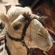 Camel head — Stock Photo #25706805
