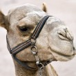 Camel, head close up — Stock Photo