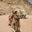 Angry camel — Stock Photo #25712437