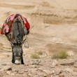 Photo: Bedouin donkey