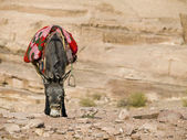 Bedouin donkey — Stock Photo