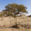 Stock Photo: Tree in Petra