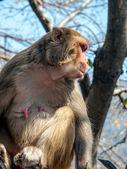 Mother monkey on the fence, India. — Stock Photo