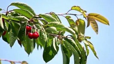 Cherry tree — Стоковое видео