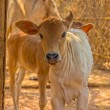 Calf close up, Bagan, Mandalay — Stock Photo
