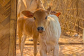 Calf close up, Bagan, Mandalay — Stockfoto